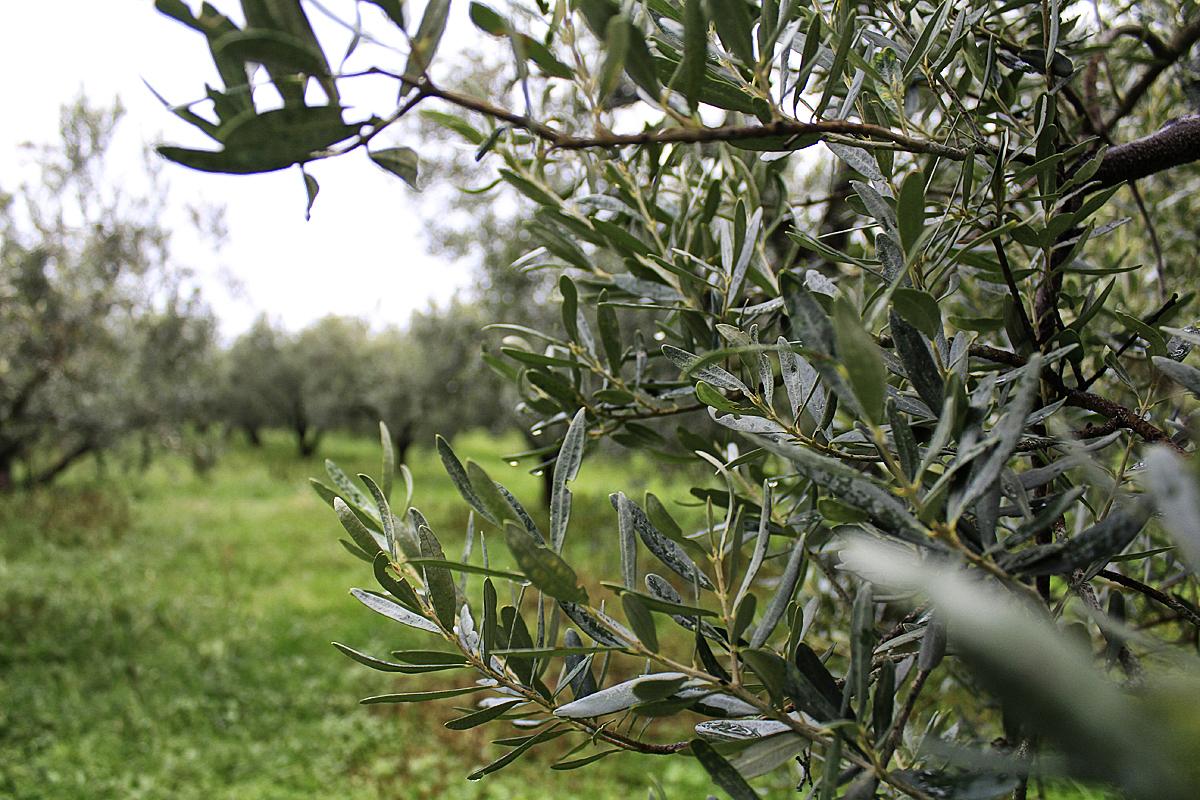 Halkidiki olive groves